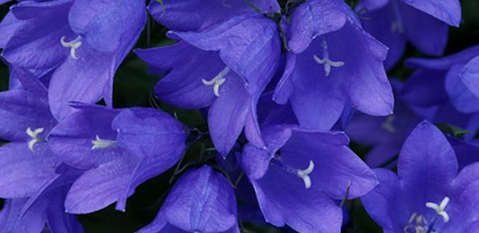 Flores em Origami 2 - Campânula