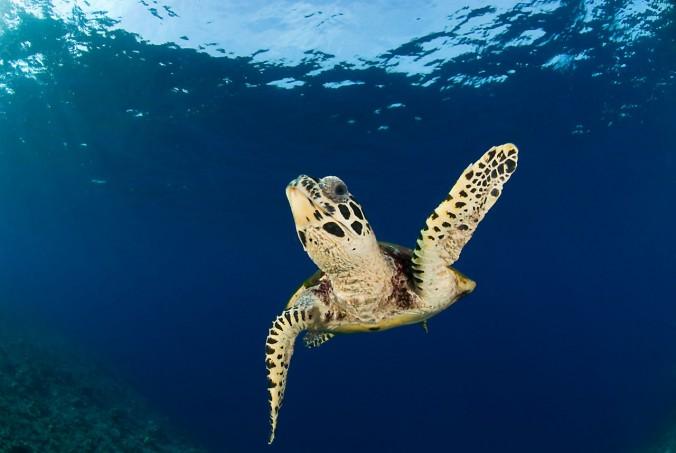 Hawksbill turtle, Papua New Guinea